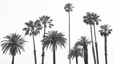 Santa Monica Palm Trees-22.jpg