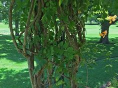 Plants for Dallas – Your Source for the Best Landscape Plant Information for the Dallas-Ft. Worth MetroplexBest Vines for Dallas, Texas — - Modern Wall Climbing Plants, Climbing Vines, Vertical Vegetable Gardens, Indoor Vegetable Gardening, Container Gardening, Lady Banks Rose, Vine Fence, Fast Growing Vines, Ficus Pumila