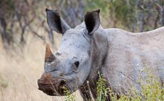 Death of Rare Rhino Leaves Only 4 in Existence - Much attention has been paid to the rapid decline of rhinos due to poaching, but now it's looking like the world is on the verge of losing the northern white rhino forever. There were believed to be an estimated 2,000 of these rhinos as recently as 1960, but the demand for their horns led to them being poached to extinction in the wild by 1984.