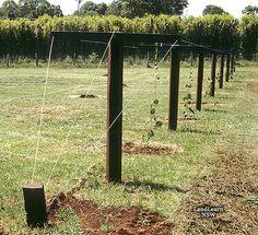 All sizes | Kiwi fruit trellis system | Flickr - Photo Sharing!
