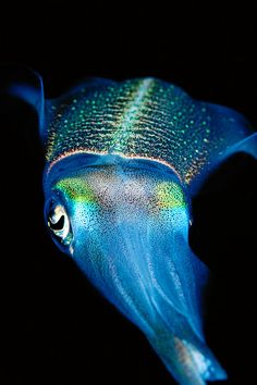A reef squid at night