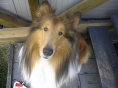 Sweet Dodger. Rough collie