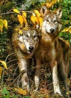 A pair of wolves...