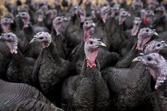 Guide to Choosing and Raising Turkeys Turkey Breeds, Black Turkey, Turkey Farm, Flu Outbreak, Chickens For Sale, Bird Flu, Laying Hens, Modern Games, Goat Farming