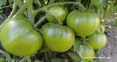 Las partes verdes del tomate tienen tomatina