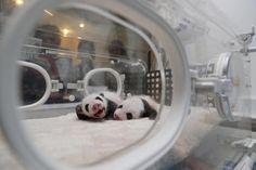 Dos pandas recién nacidos en la incubadora de un centro de rescate de pandas eb Chengdu, Sichuan, China (China Daily, 2017)