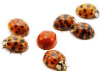 Have you wondered why ladybugs have spots? This article explains it, photos too!