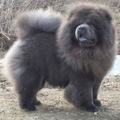 Chow Chow, Blue