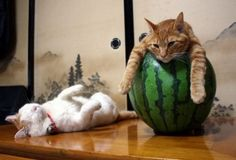 Funny Poses of Cute Cats- Pics) Cute Cats, Funny Cats, Funny Animals, Cute Animals, Baby Animals, Animals Images, Animal Pictures, Watermelon Cat, Funny Cat Photos