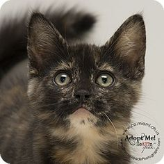 ADOPTED - Sabrina - URGENT - Miami County Animal Shelter in Troy, Ohio - Female KITTEN Domestic SH