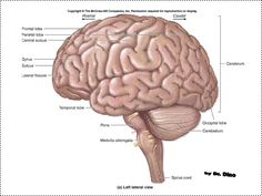 located in the medulla oblongata, the gracile nucleus is one of, Human Body