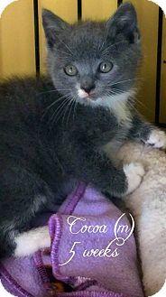 Island Park, NY - Domestic Shorthair. Meet Cocoa, a kitten for adoption. http://www.adoptapet.com/pet/15930823-island-park-new-york-kitten