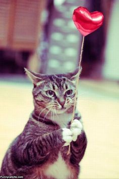 Funny Animal Pictures - View our collection of cute and funny pet videos and pics. New funny animal pictures and videos submitted daily. Funny Animal Videos, Funny Animals, Cute Animals, Videos Funny, Crazy Cat Lady, Crazy Cats, Cute Cats, Funny Cats, Valentines Day Funny