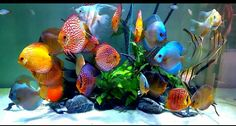 Discus type fishes