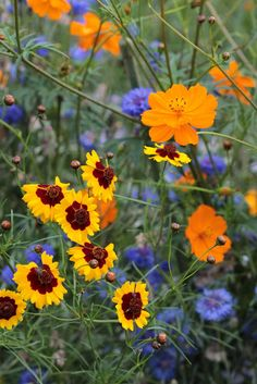 My 'Wildflowers for Pollinators' meadow: here mixed cosmos and cornflowers which pollinating insects love.