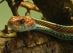 The San Francisco Garter Snake (Thamnophis sirtalis tetrataenia) is a slender multi-colored subspecies of the common garter snake. Designated as an endangered subspecies since the year 1967,[1] it is endemic to San Mateo County and the extreme northern part of coastal Santa Cruz County in California.