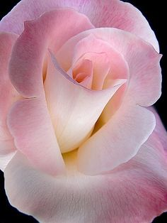 What a gorgeous picture. I love that you can see the different colours and petals of the rose so well.