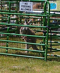 This is a Red Kangaroo that was at the Fantasy Corral Petting Zoo at the Rice Lake Public Library summer of 2012.