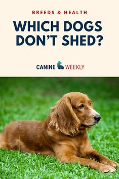We've got the top 13 big dogs that don't shed (much! We'll also explain why large hypoallergenic non shedding dogs are somewhat of a myth. Best Small Dog Breeds, Best Small Dogs, Dog Breeds That Dont Shed, Top Dog Breeds, Most Popular Dog Breeds, Large Dog Breeds, Big Dogs, Non Shedding Dogs Large, Low Shedding Dog Breeds