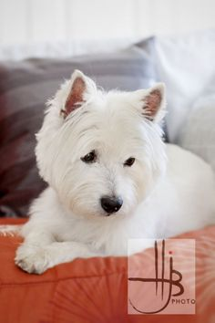 portrait of a westie dog at home by   Heidi Brady