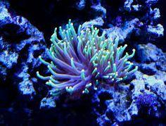 תוצאת תמונה עבור corals Green Beans, Coral, Fish, Pets, Animals, Stars, Animales, Animaux, Pisces