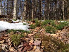 Princess pine , Adirondacks