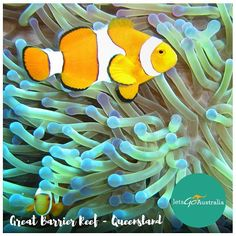 YES! you can see this beauty in between the coral at the Great Barrier Reef  there's no such thing as australian wildlife!! Happy weekend folks! #TGIF #greatbarrierreef #findingnemo #dive  #Australia by letsgoaustralia http://ift.tt/1UokkV2