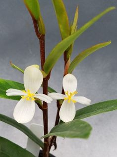 B. loranthoides ssp. rhopalocarpa, discovered in 1895 in Cameroon, a country on the western coast of Central Africa.