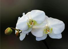 Sold - White Orchid - Doritaenopsis Orchid
