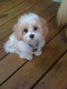 Cavachon Puppy ~ so sweet!!