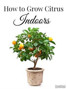 Citrus plants make beautiful displays and if you live in the north, it can be hard to grow them outside. Here's some tips on How to Grow Citrus Indoors.