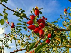 Šípky vmedu | | Bylinky pro radost Free Pictures, Free Images, Rosehip Oil, Shelf Life, Countries Of The World, Natural Materials, Flora
