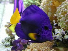 SaltWater Fish 1 Blue Tang - my Tangs were the hardest to keep healthy.  Kept getting holes around their eyes and nose. - Annilee