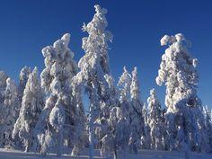 Snow-crowned trees along the peak of Ritavaara in Pello, Lapland