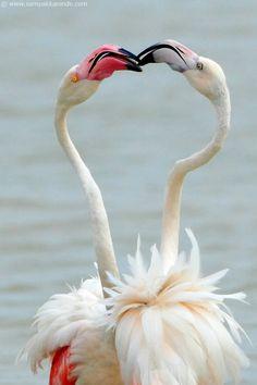 The Greater Flamingo (Phoenicopterus roseus) indulge into beak fighting quite regularly while busy feeding around the water bodies. Foto Flamingo, Flamingo Art, Pink Flamingos, All Birds, Love Birds, Beautiful Birds, Animals Beautiful, Pretty Birds, Animals Kissing