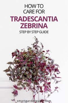 Complete guide to caring for Tradescantia zebrina houseplants. Learn everything you need to know to grow a healthy Wandering Jew plant. Easy Care Indoor Plants, Indoor Flowering Plants, Blooming Plants, Outdoor Plants, Indoor Window Garden, Garden Windows, Pot Plants, Garden Plants, Wandering Jew