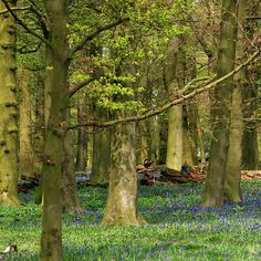 'Bluebell wood' by Sophie Watson Art Work, Wood, Plants, Photography, Image, Artwork, Work Of Art, Photograph, Woodwind Instrument