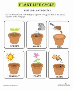 Kindergarten Second Grade Plants, Animals & the Earth Worksheets: Plant Life Cycle Flash Cards