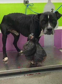 2/19/17 There are few words to express the anger and disgust at such egregious animal cruelty and neglect. In southeast Dallas, Texas, Shadow was brought into a high-kill shelter by Animal Control with a monstrous sized tumor on his leg which weighs more than 20 pounds. At first glance, one would have thought there had been …