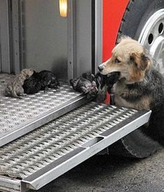 On August 10, Amanda the German Shepherd became Reddit's hero after she was photographed saving her puppies from a fire by placing them on a firetruck. She braved the blaze in her home and was able to retrieve all but one of her 10-day-old  babies.