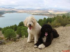 Turco Andaluz O Actual Perro De Agua Espaol