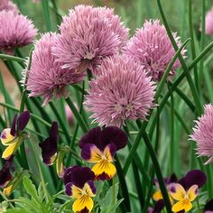 Can grow indoors, Chive: Dig up a clump of chives from your garden at the end of the growing season and pot it up. Leave the pot outside until the leaves die back. In early winter, move the pot to your coolest indoor spot (such as a basement) for a few days, then finally to your brightest window.