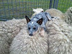 A Blue Heeler guarding his/her flock. And a nice soft warm place for a nap too! ;) :D The sheep don't mind, they usually figure out that Bluey is their friend and will keep them safe. So, win-win! :D