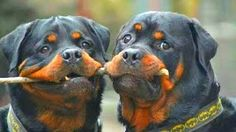 """Visit our internet site for more details on """"Rottweiler puppies"""". It is an exceptional area for more information. Rottweiler Love, Rottweiler Puppies, Funny Dogs, Funny Animals, Cute Animals, Big Dogs, I Love Dogs, Beautiful Dogs, Animals Beautiful"""