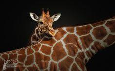 Giraffe by Fotostyle_Schindler #animals #animal #pet #pets #animales #animallovers #photooftheday #amazing #picoftheday