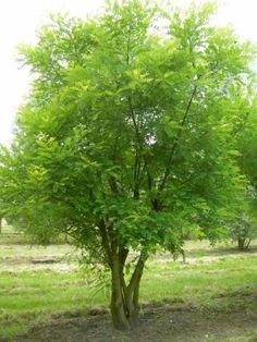 Sophora japonica Honingboom Van den Berk Boomkwekerijen | Voorbeelden van meerstammige bomen