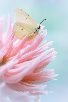 White Butterfly resting on a Pink flower.