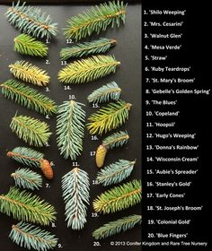 varieties of Picea Pungens (Blue Spruce) ~great source for conifers and Japanese maples ~ www.coniferkingdom.com