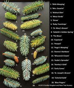 varieties of Picea Pungens (Blue Spruce) ~great source for conifers and Japanese… Garden Shrubs, Garden Trees, Garden Landscaping, Evergreen Garden, Evergreen Trees, Terrace Garden, Trees And Shrubs, Trees To Plant, Baumgarten