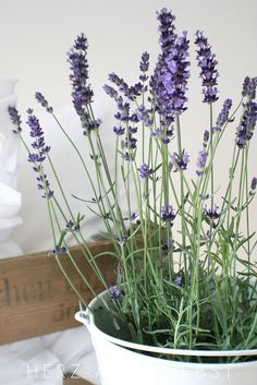 Lavendel This would be a great gift for someone. Look for pots at the Thrift Store. SO MUCH CHEAPER! Beautiful Flowers, Lavender Fields, Container Gardening, Lavender Flowers, Lavender Cottage, Pretty Flowers, Growing Lavender, Herbs, Planting Flowers